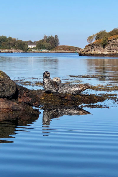 Harbour seals scotland